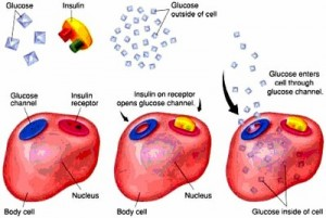 Insulin receptors, body cells and glucose