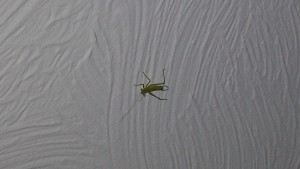 I'm no expert, but I think it was a female tree cricket on the ceiling of my bedroom. What do you think?